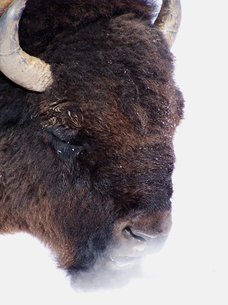 Most bison in the US are not genetically pure; these in Yellowstone are.