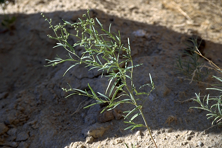 Chenopodium subglabrum is an annual, preferring open, sandy substrate such as dunes and bars. It is rare in most of its range, being listed in ND, SD, WY, MT, NE, Alberta, BC, Saskatchewan, Manitoba,