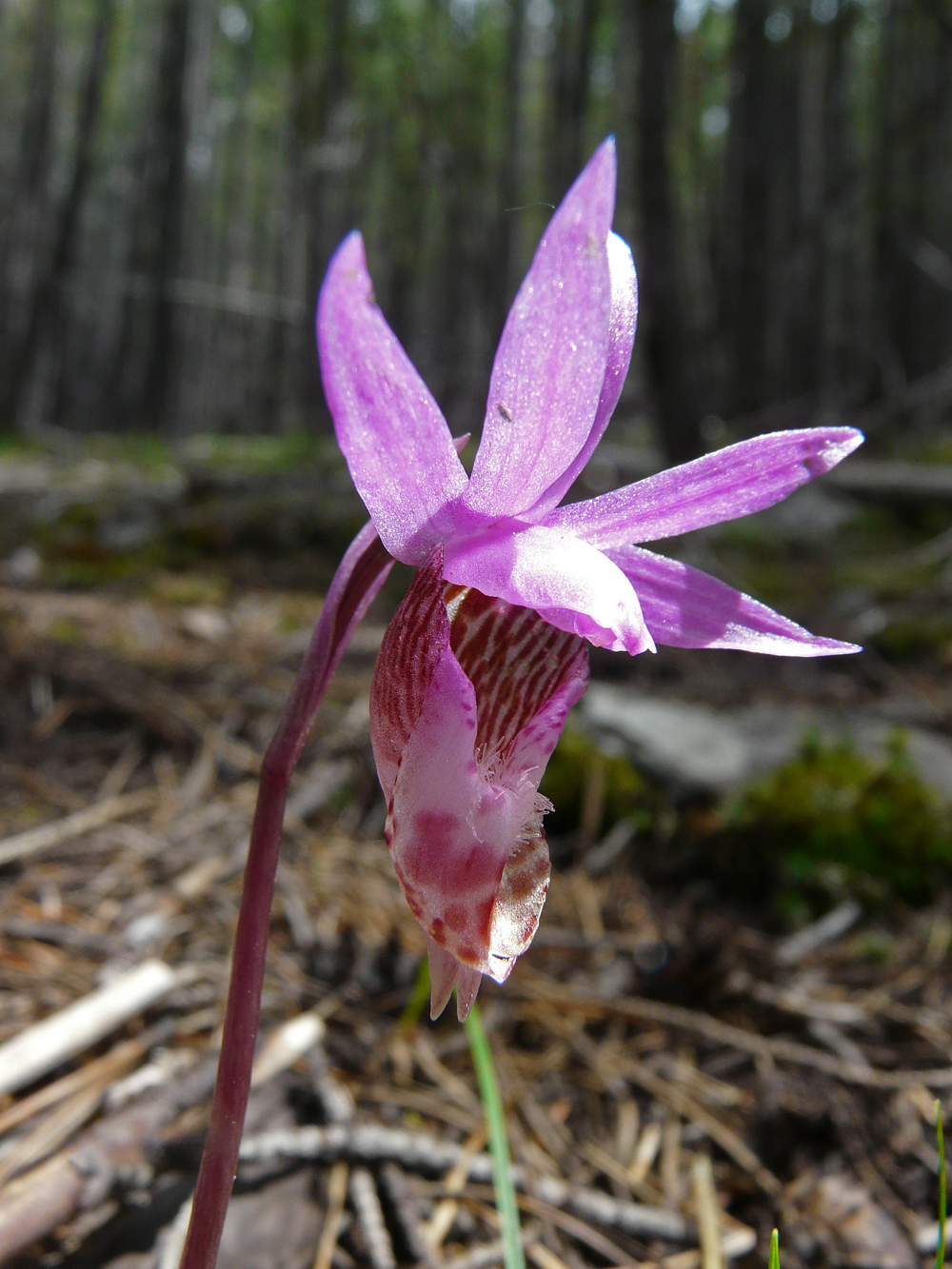 Calypso bulbosa is rare in NY, NH, WI, MI, VT, Sweden, and Finland. Declining at the southern edge of range. Climate change is a threat.