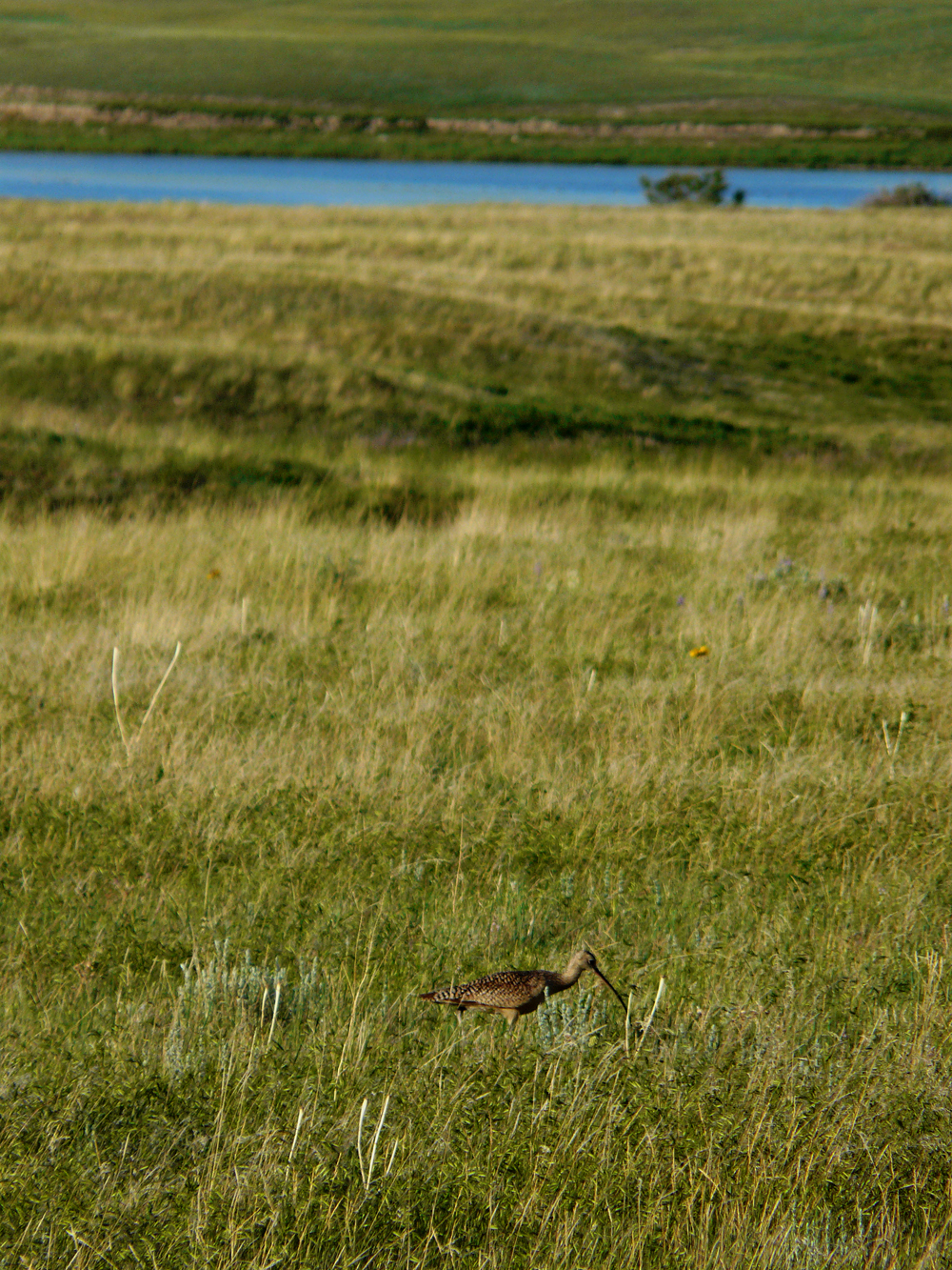Long-billed curlew is declining across its range due to overharvest, breeding habitat loss.